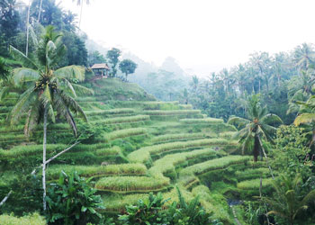 ubud rice field